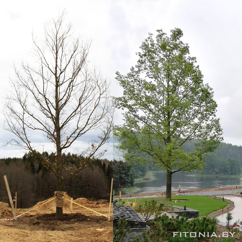 Как за высокими заборами появляются исполинские деревья