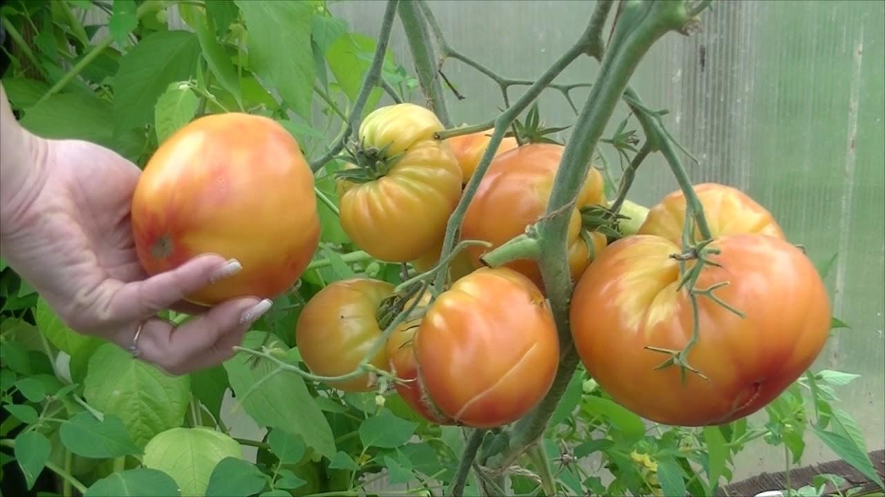 Сорта томатов для Северной полосы России